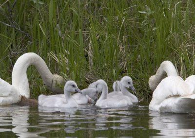 Swans Raising Cygnets